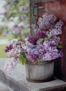 159300-Lilacs-In-A-Bucket